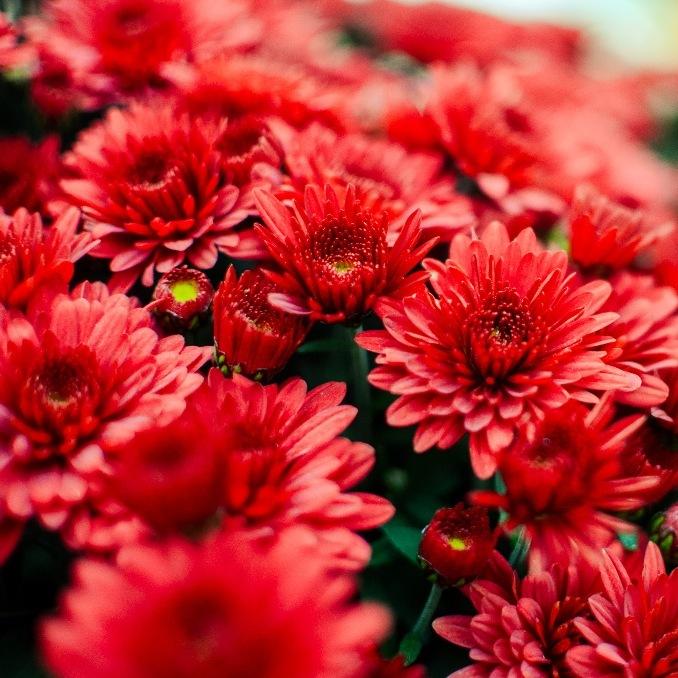 Fioridea Modica - Fiori rossi S